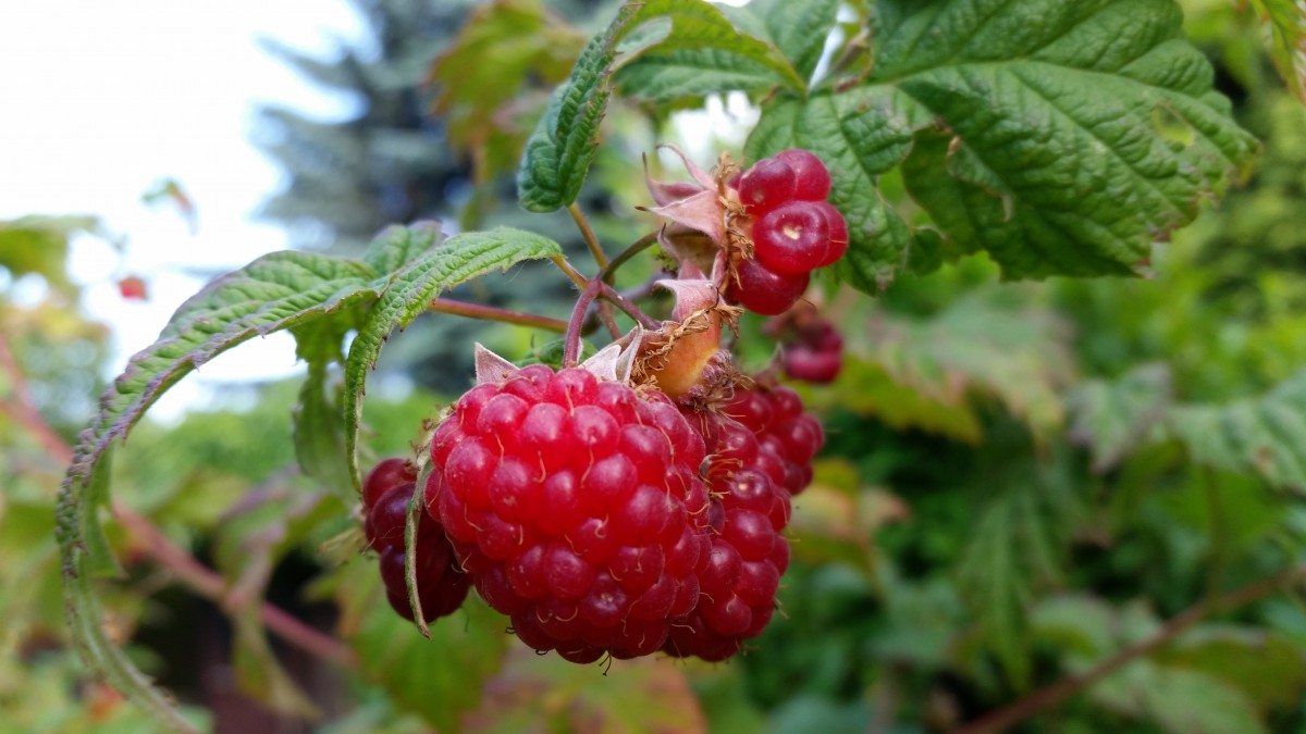 Bramble of Raspberries