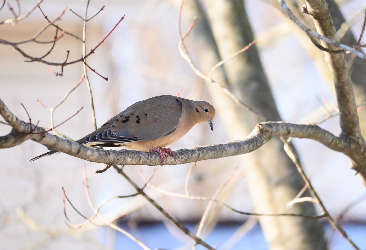 Mourning Dove perched on branch with Nikon Z50 and 50-250mm lens